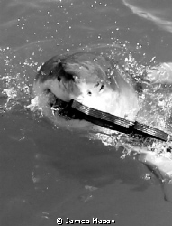 Great Whites love those decoys! by James Mason
